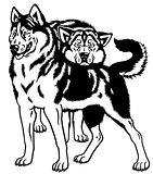 siberian husky dogs black white