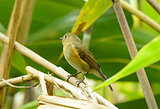 female Red-flanked Bluetail (Tarsiger cyanurus)