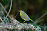 female Golden Bush-Robin (Tarsiger chrysaeus)