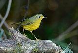 female Golden Bush-Robin (Tarsiger chrysaeus)