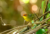 Chestnut-headed Tesia (Tesia castaneocoronata)