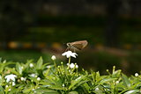 Tawny-edged grass skipper