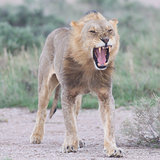 Lion walking on the rainy plains of Etosha