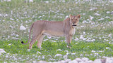 Lioness walking on the plains of Etosha