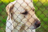 Yellow Labrador Retriever Behind Fence