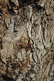 Bark of old Poplar Tree