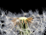 Dandelion seed head taraxacum officinale