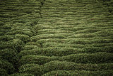 Tea Plantation on a Hillside