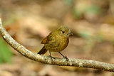 female white-tailed robin