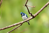 male Ultramarine Flycatcher (Ficedula superciliaris)