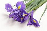 blue iris flower