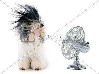 tibetan terrier and fan