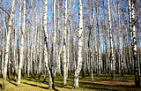 Sunny autumn birch grove on blue sky