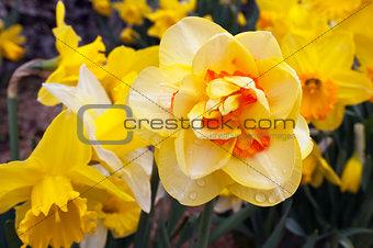 Daffodil (Narcissus plant)