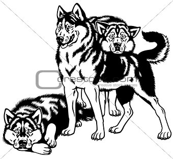 three siberian husky black white