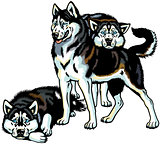 three siberian husky