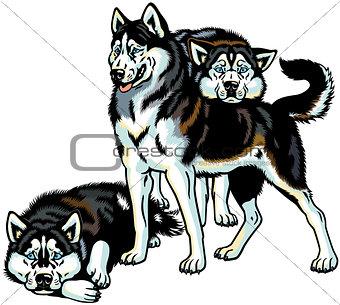 three siberian husky