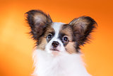 Portrait of a cute puppy Papillon