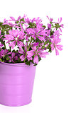 wild violet flowers in bucket