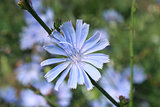 blue flower of Cichorium