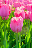 Beautiful spring flowers pink tulips. Shallow DOF