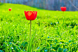 Red tulip on the background of lush green grass