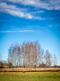 birches with cloudscape
