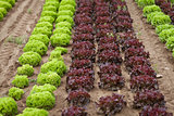 fresh green and red lettuce salad field summer