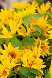 colorful yellow sunflowers macro outdoor