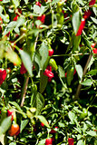 spicy red hot chilli pepper on tree in summer outdoor