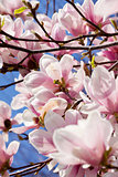 pink magnolia tree flower outdoor in spring