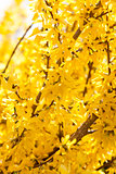 yellow forsythia blossom in spring outdoor