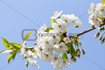 beautiful white blossom in spring outdoor