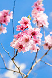 cherry blossom and blue sky in spring