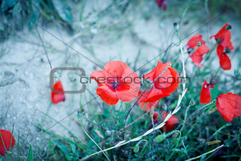 beautiful red poppy poppies in green and blue closeup
