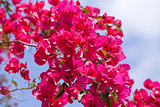 beautiful pink magenta bougainvillea flowers and blue sky