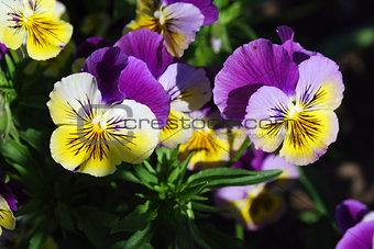 Bright flowers viola