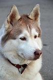 Husky portret