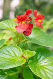 Begonia floccifera Bedd.