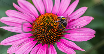 Bee on a pink aster flower