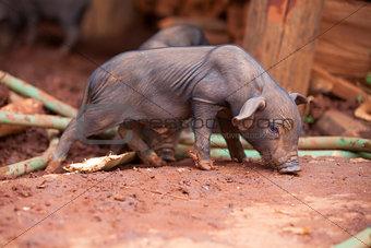Small black Pig