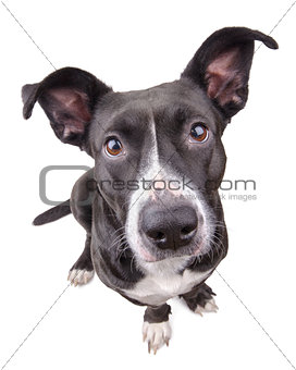 Black cute dog looking at camera