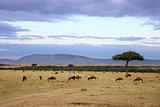 wildebeest herd Masai Mara Kenya Africa