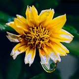 yellow flower with water drops