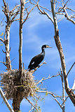 cormorant (phalacrocorax carbo ) on nest