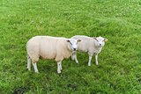 White sheep in a meadow