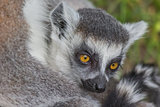 Young ring-tailed lemur sitting with mother