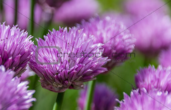 Blooming chive