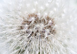 Dandelion abstract closeup