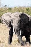 african elephant Masai Mara Kenya Africa